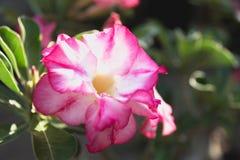 Schließen Sie herauf rosa Adenium, rosa Blume auf dem Naturhintergrund Lizenzfreie Stockfotografie