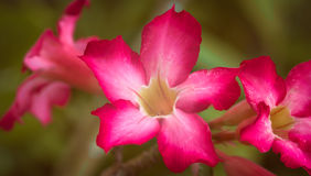 Schließen Sie herauf rosa Adeniumblumen Lizenzfreies Stockfoto