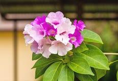 Schließen Sie herauf rosa Blume Mansoa-alliacea oder Knoblauchrebe auf natürlichem Stockfoto