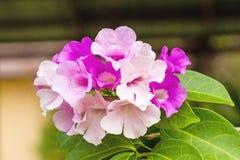Schließen Sie herauf rosa Blume Mansoa-alliacea oder Knoblauchrebe auf natürlichem Stockbild