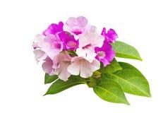Schließen Sie herauf rosa Blume Mansoa-alliacea oder Knoblauchrebe auf Weiß Gespeichert mit Beschneidungspfad Lizenzfreie Stockbilder