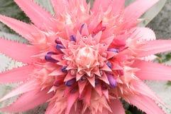 Schließen Sie herauf rosa Bromelieblume (fasciata, Bromeliaceae Aechmea) Stockfotografie