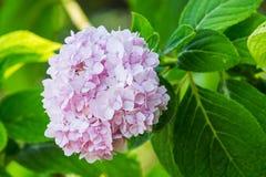 Rosa Hydrangea Stockbild