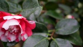 Schließen Sie herauf Rosa mit weißer Blume Lizenzfreies Stockfoto