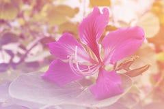 Schließen Sie herauf rosa orchideenbaum mit Weinlesefarbe lizenzfreie stockfotos