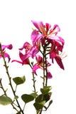 Schließen Sie herauf rosa orchideenbaumisolat auf weißem Hintergrund Stockbilder