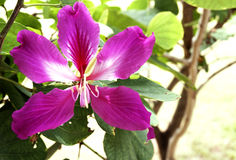 Schließen Sie herauf rosa orchideenbaumisolat auf weißem Hintergrund stockbild