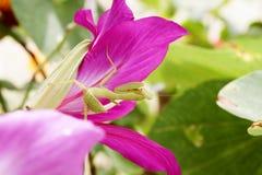 Schließen Sie herauf rosa orchideenbaumisolat auf weißem Hintergrund Stockfotos