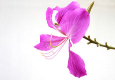 Schließen Sie herauf rosa orchideenbaumisolat auf weißem Hintergrund lizenzfreie stockbilder