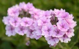 Schließen Sie herauf rosa Pelargonie Stockfotos