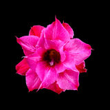 Schließen Sie herauf rosa Wüstenrose, Impalalilie, Adenium obesum oder Azalee Lizenzfreie Stockfotos