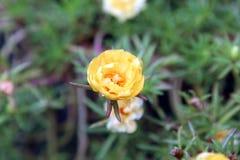 Schließen Sie herauf rosafarbene Blume des Japaners in einem Garten Stockfotos