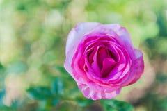 Schließen Sie herauf Rosarosenblumen in einem Garten stockfotos