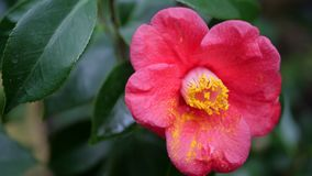 Schließen Sie herauf Rot mit gelber Blume Stockfotografie