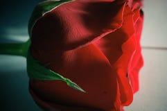 Schließen Sie herauf rote Rose Stockbild