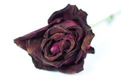Schließen Sie herauf rote Rose Lizenzfreie Stockfotos