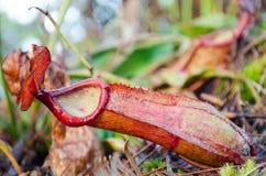 Schließen Sie herauf roten Nepenthaceae Stockfoto