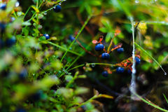 Schließen Sie herauf Saisonblaubeerbusch Stockbild