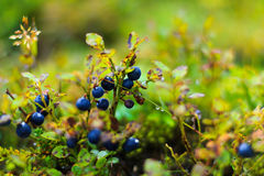 Schließen Sie herauf Saisonblaubeerbusch Lizenzfreie Stockbilder