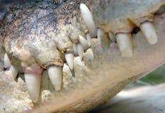 Schließen Sie herauf Salzwasserkrokodil mouth&teeth, Thailand Stockfotos