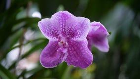 Schließen Sie herauf schöne purpurrote Orchideen mit grünem Hintergrund Lizenzfreie Stockfotografie