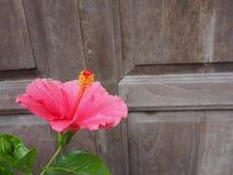 Schließen Sie herauf schöne rosa Hibiscusblume beim Blühen Lizenzfreie Stockfotos