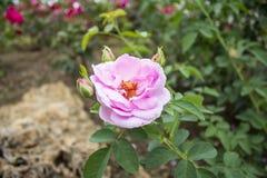 Schließen Sie herauf schöne Rosarose in einem Garten Stockbild