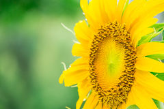 Schließen Sie herauf schöne Sonnenblume Stockfoto
