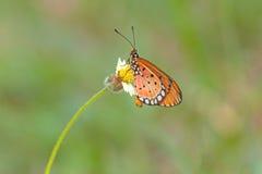 Schließen Sie herauf schönen Schmetterling (Tawny Coster-, Acraea-violae) Stockfoto