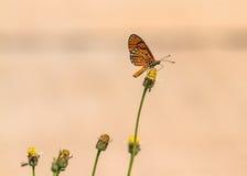Schließen Sie herauf schönen Schmetterling (Tawny Coster-, Acraea-violae) und Stockfotografie
