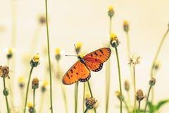 Schließen Sie herauf schönen Schmetterling (Tawny Coster-, Acraea-violae) und Stockbilder