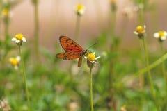 Schließen Sie herauf schönen Schmetterling (Tawny Coster-, Acraea-violae) und Lizenzfreie Stockbilder