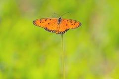 Schließen Sie herauf schönen Schmetterling (Tawny Coster-, Acraea-violae) und Lizenzfreies Stockfoto