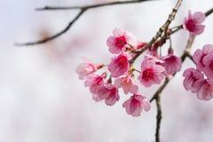 Schließen Sie herauf Schönheitskirschblüte-Blume im spingtime stockbild