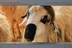 Schließen Sie herauf Schafe in einem Stall Stockfotografie