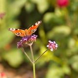 Schließen Sie herauf Schmetterling auf Blume Stockbilder