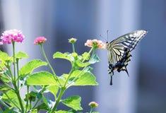 Schließen Sie herauf Schmetterling auf Blume, Japan stockfoto