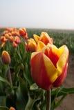 Schließen Sie herauf Schuß der roten gelben Tulpe Lizenzfreies Stockfoto