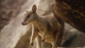 Schließen Sie herauf Schuss eines kleinen Sumpf-Wallabys auf einem Felsen stock footage