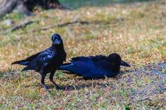 Schließen Sie herauf schwarze Krähe im Allgemeinen Park Corvus corone, allgemeine Querstation Stockfotografie