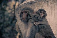 Schließen Sie herauf Seitenansicht eines Affen mit dem Baby, das an einer Rückseite hängt Rhes Stockfotos