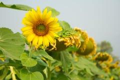 Schließen Sie herauf Sonnenblume Stockfoto