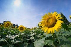 Schließen Sie herauf Sonnenblume Lizenzfreie Stockfotografie