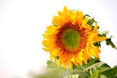 Schließen Sie herauf Sonnenblume Stockfotos