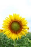 Schließen Sie herauf Sonnenblume Lizenzfreies Stockfoto