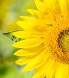 Schließen Sie herauf Sonnenblume auf dem Feld Stockfotos