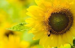 Schließen Sie herauf Sonnenblume und die Biene Lizenzfreie Stockfotos