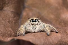 schließen Sie herauf springende Spinne Hyllus auf einem trockenen Blatt, Spinne in Thailand Lizenzfreies Stockbild
