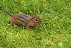 Schließen Sie herauf Streifenhörnchen mit seinen Kiefern, die vom Samen voll sind Stockbilder