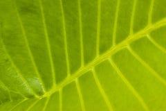 Schließen Sie herauf Struktur des grünen Blattes Stockbild